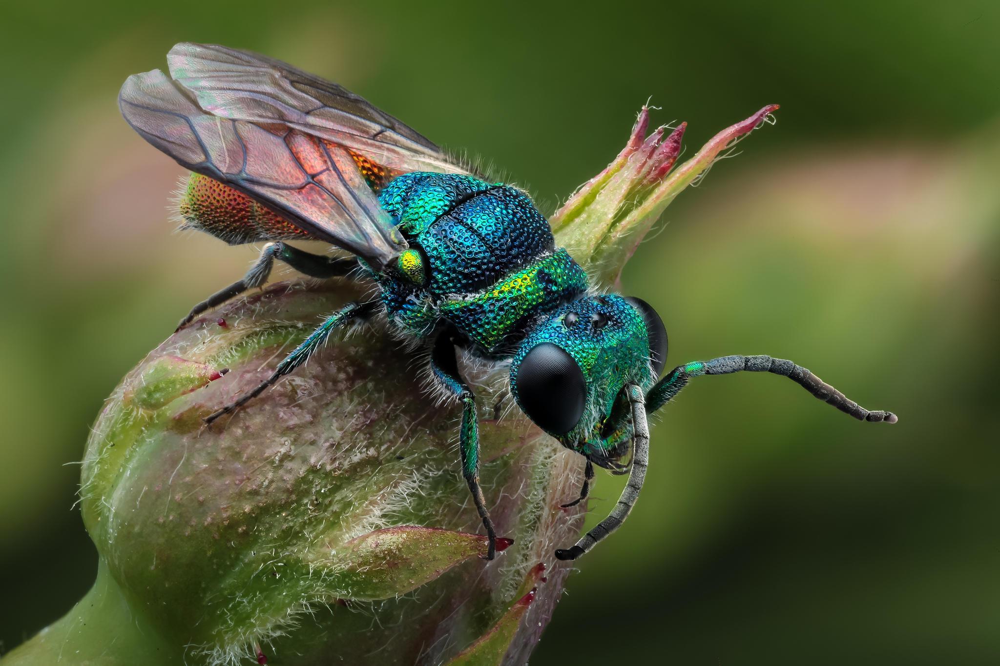 Обои оса блестянка огненная, насекомое, макро