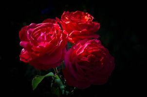 Фото бесплатно роза, чёрный фон, розы