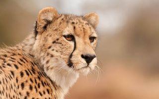 Фото бесплатно гепард, мордашка, усы