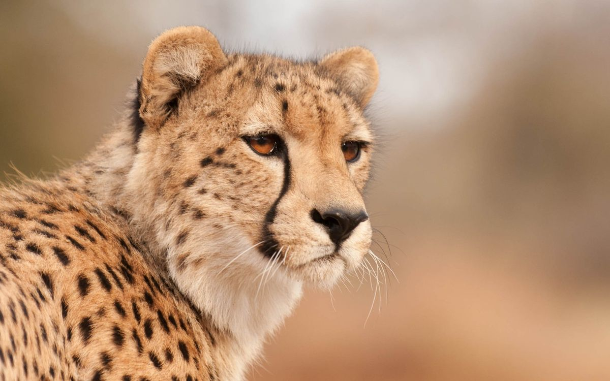Free photo cheetah, face, mustache - to desktop