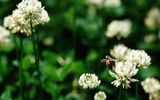 Бесплатные фото клевер,цветы,белые,пчела,лапки,крылья
