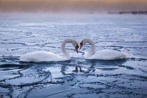 Бесплатные фото Haukilahti,Espoo,Finland,зима,озеро,лебеди,природа