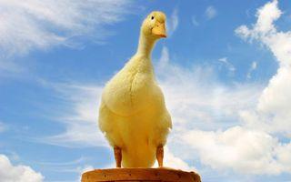 Бесплатные фото гусенок,желтый,перья,клюв,лапы,небо,облака