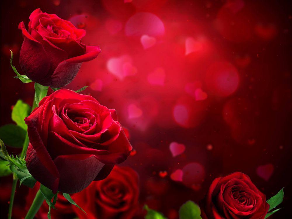 Фото бесплатно роза, розы, цветы, цветок, флора, цветы