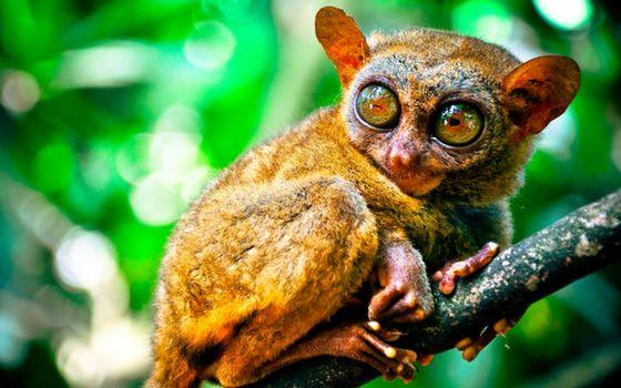Фото бесплатно зверек, долгопят, глаза большие, ветка, лапы, шерсть
