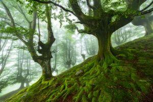 Бесплатные фото лес,деревья,мох,туман,природа