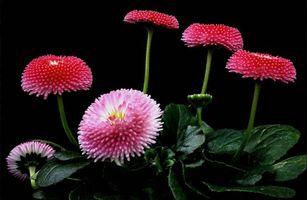 Бесплатные фото Маргаритка,маргаритки,цветы,флора,чёрный фон