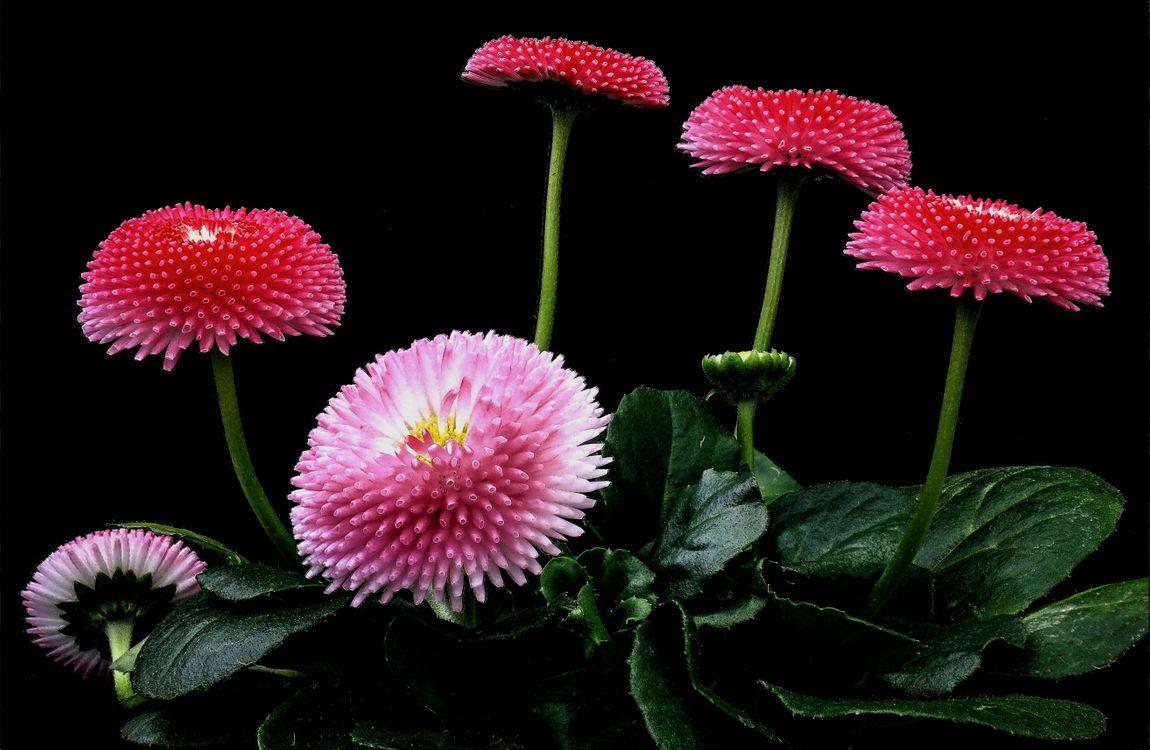 Обои Маргаритка, маргаритки, цветы картинки на телефон