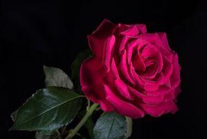 Фото бесплатно черный фон, флора, роза