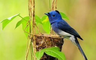 Бесплатные фото птичка,перья,синие,клюв,хвост,гнездо,листья