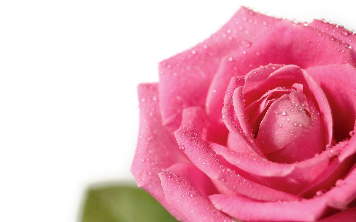 Фото бесплатно роза, лепестки, розовые, капли, фон белый, цветы