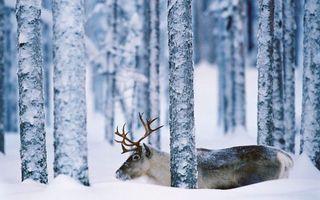 Бесплатные фото зима,лес,снег,олень,рога,морда,шерсть