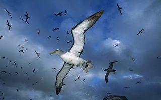 Бесплатные фото альбатросы,стая,полет,крылья,перья,клювы