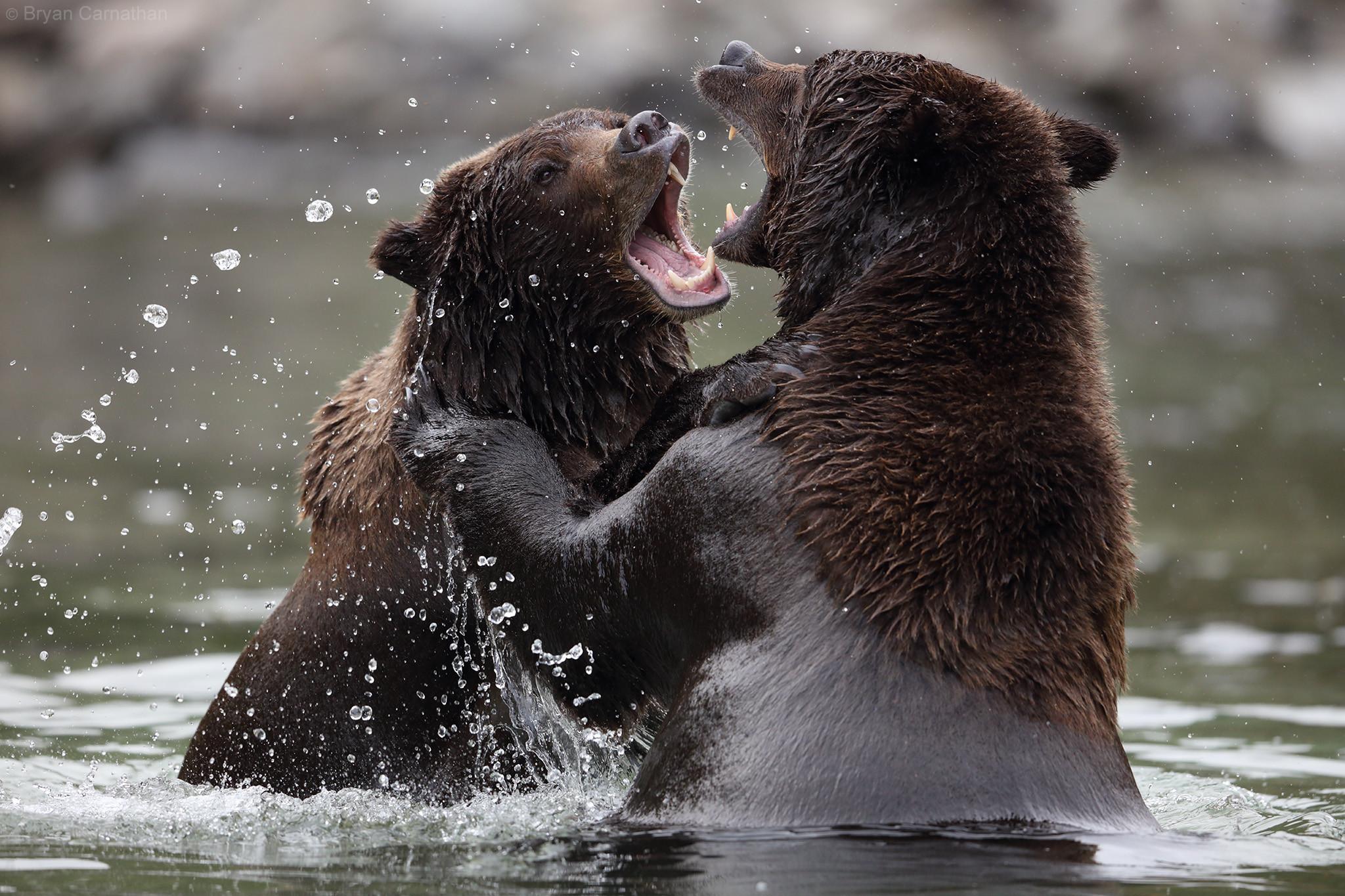 Бурый Медведь, Национальный Парк Катмай, Аляска