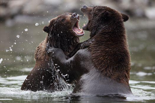 Photo free Brown Bear, Katmai National Park, Alaska