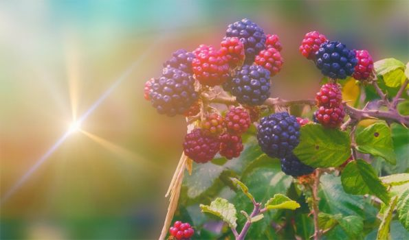 Photo free blackberry, berries, bushes