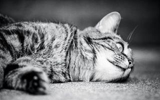 Фото бесплатно кошка, лежит, морда