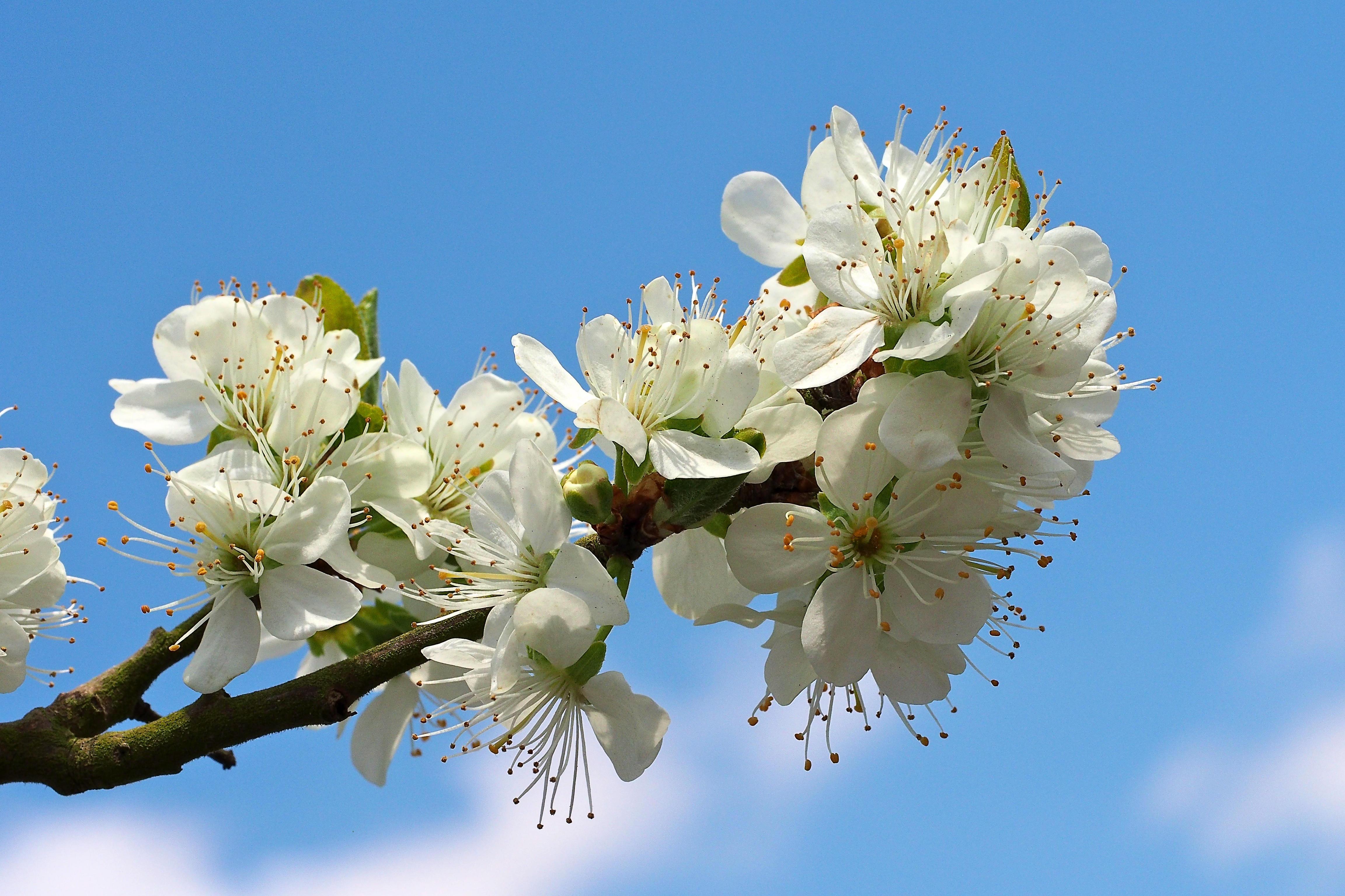 Обои sakura, Cherry Blossoms, ветка, цветы
