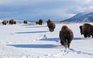Бесплатные фото зима,зубры,стадо,снег,следы,горы