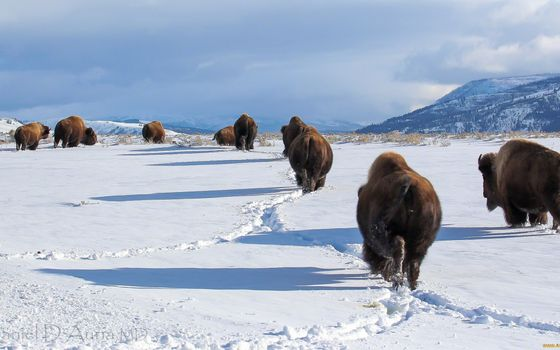 Photo free winter, bison, herd