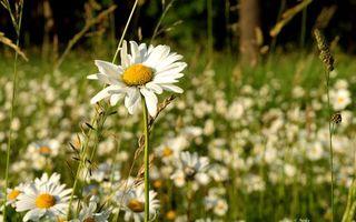 Бесплатные фото природа,поляна,трава,ромашки,лепестки,белые