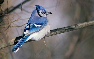 Бесплатные фото ветка,птичка,перья,синие,клюв,хохолок