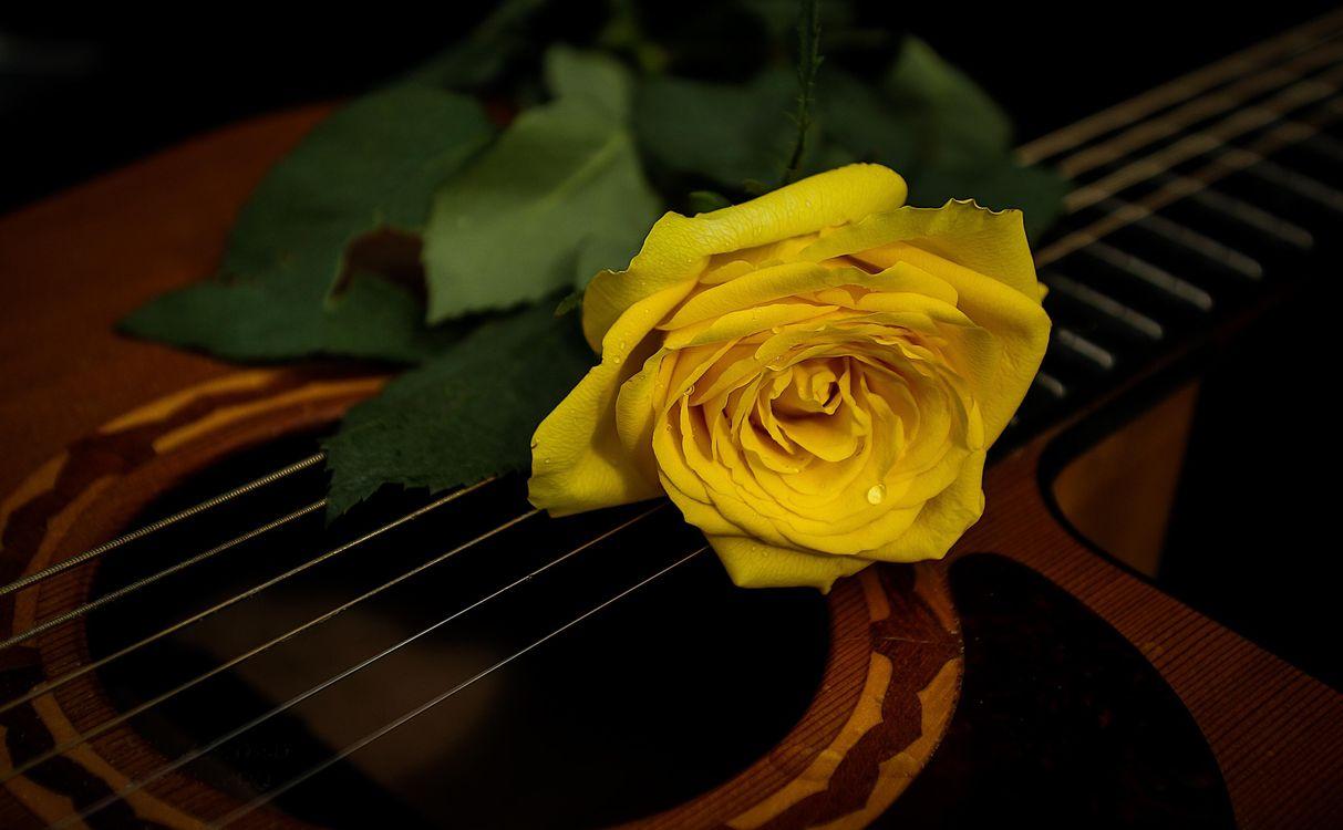 Фото бесплатно роза, цветок, флора, гитара, струны, цветы
