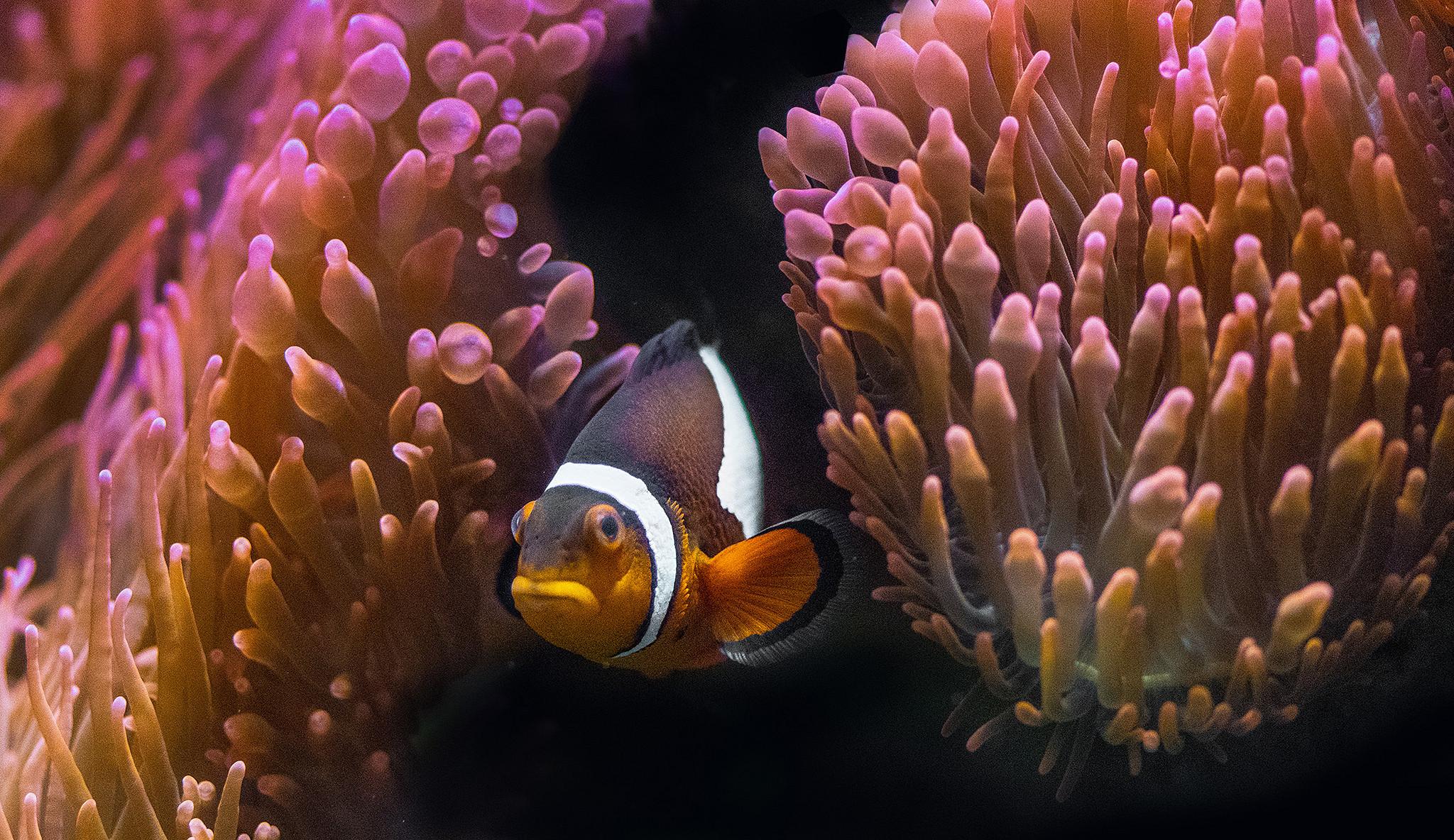 обои морское дно, водоросли, рыба, клоун картинки фото