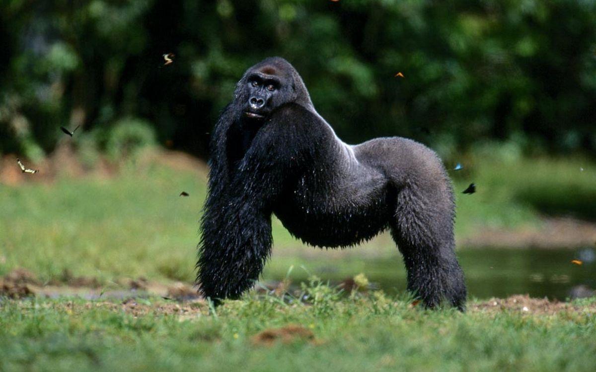 Фото бесплатно обезьяна, горилла, морда, лапы, шерсть, бабочки, животные