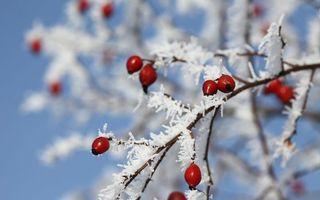 Обои зима, ветви, иней, ягода, шиповник, красные