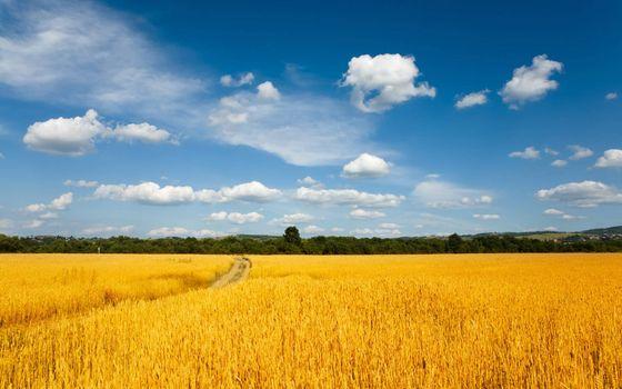 Фото бесплатно поле, пшено, тропа