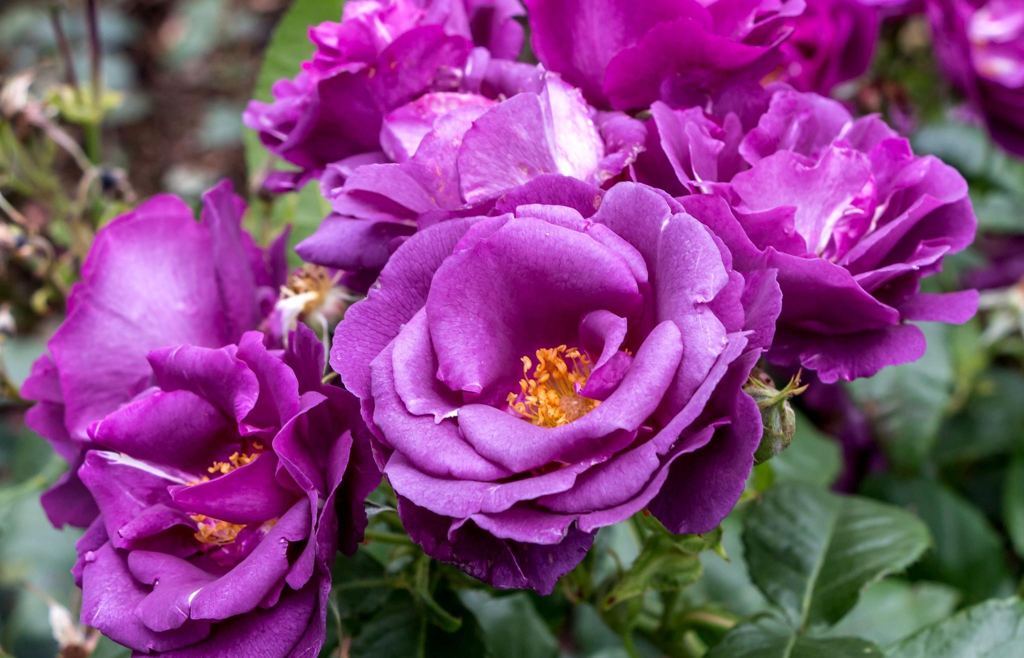 Обои розы, лепестки, лиловый