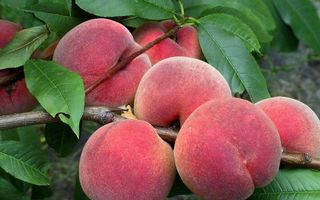 Бесплатные фото фрукты,персики,плоды,ветви,листья,зеленые