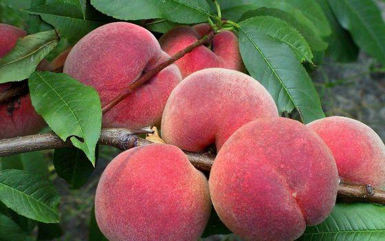 Фото бесплатно фрукты, персики, плоды