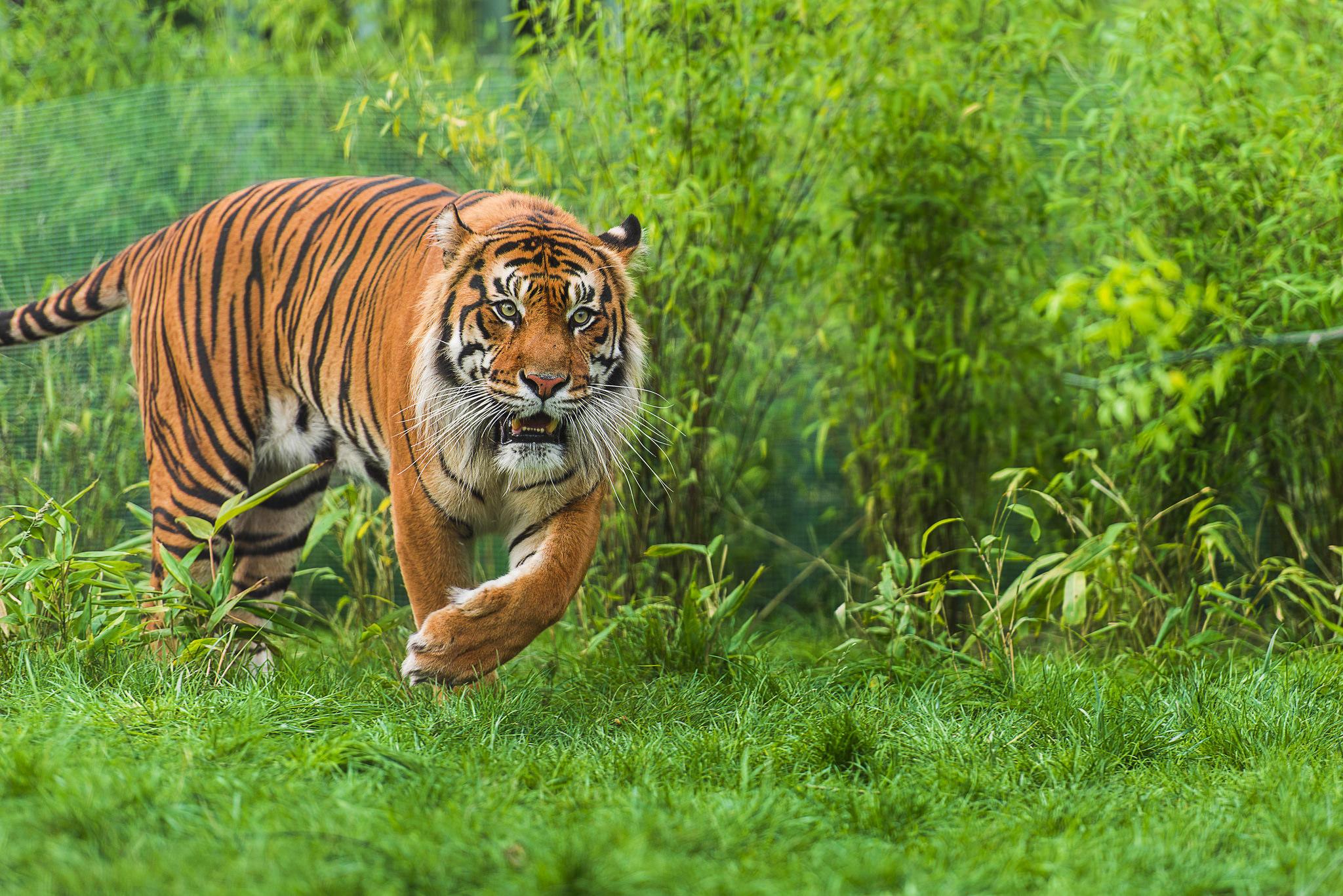 Обои тигр, Sumatran tiger, хищник