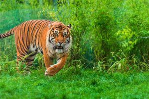 Бесплатные фото тигр,Sumatran tiger,хищник