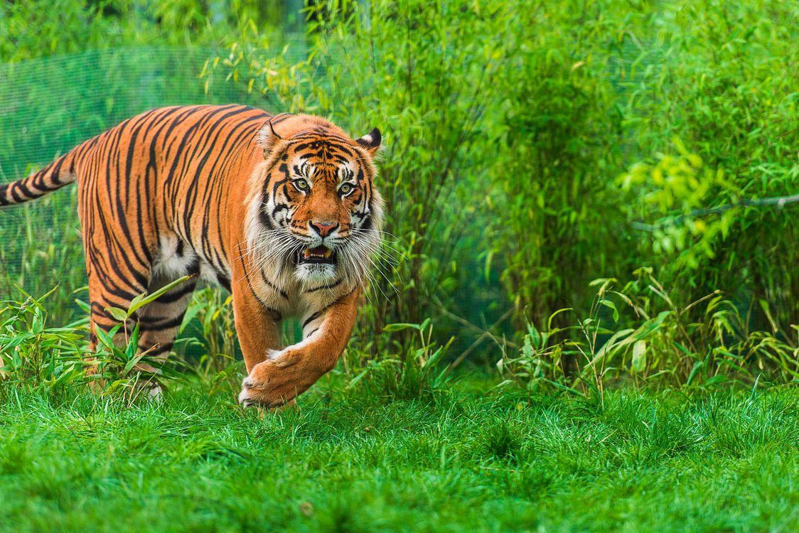 Обои тигр, Sumatran tiger, хищник на телефон | картинки животные - скачать