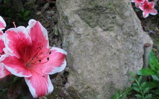 Фото бесплатно камень, цветы, лепестки