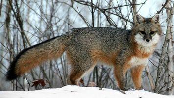 Фото бесплатно зверь, лисица, морда