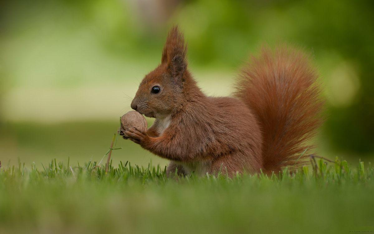 Фото бесплатно белка, морда, лапы, орех, хвост пушистый, трава, животные