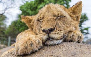 Бесплатные фото львенок,сон,мордашка