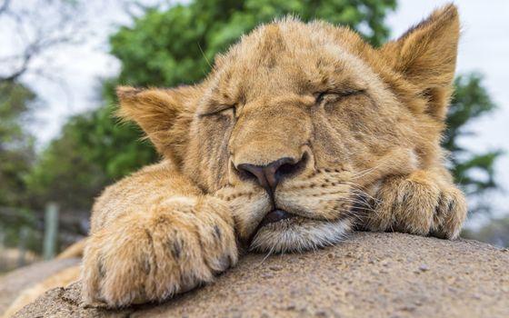 Фото бесплатно львенок, сон, мордашка