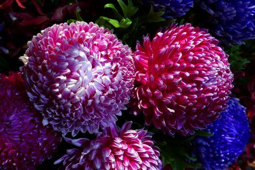 Photo free flora, Chrysanthemums, chrysanthemums