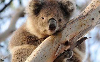 Бесплатные фото коала,морда,лапы,шерсть,дерево