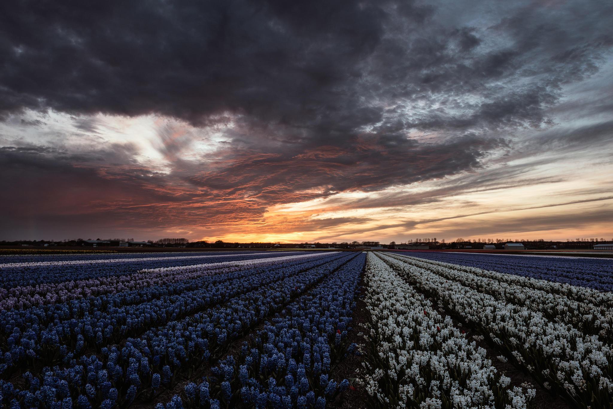 обои Lisse-Netherlands, Лиссе, Нидерланды закат, поля картинки фото