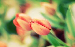 Бесплатные фото тюльпаны, лепестки, макро