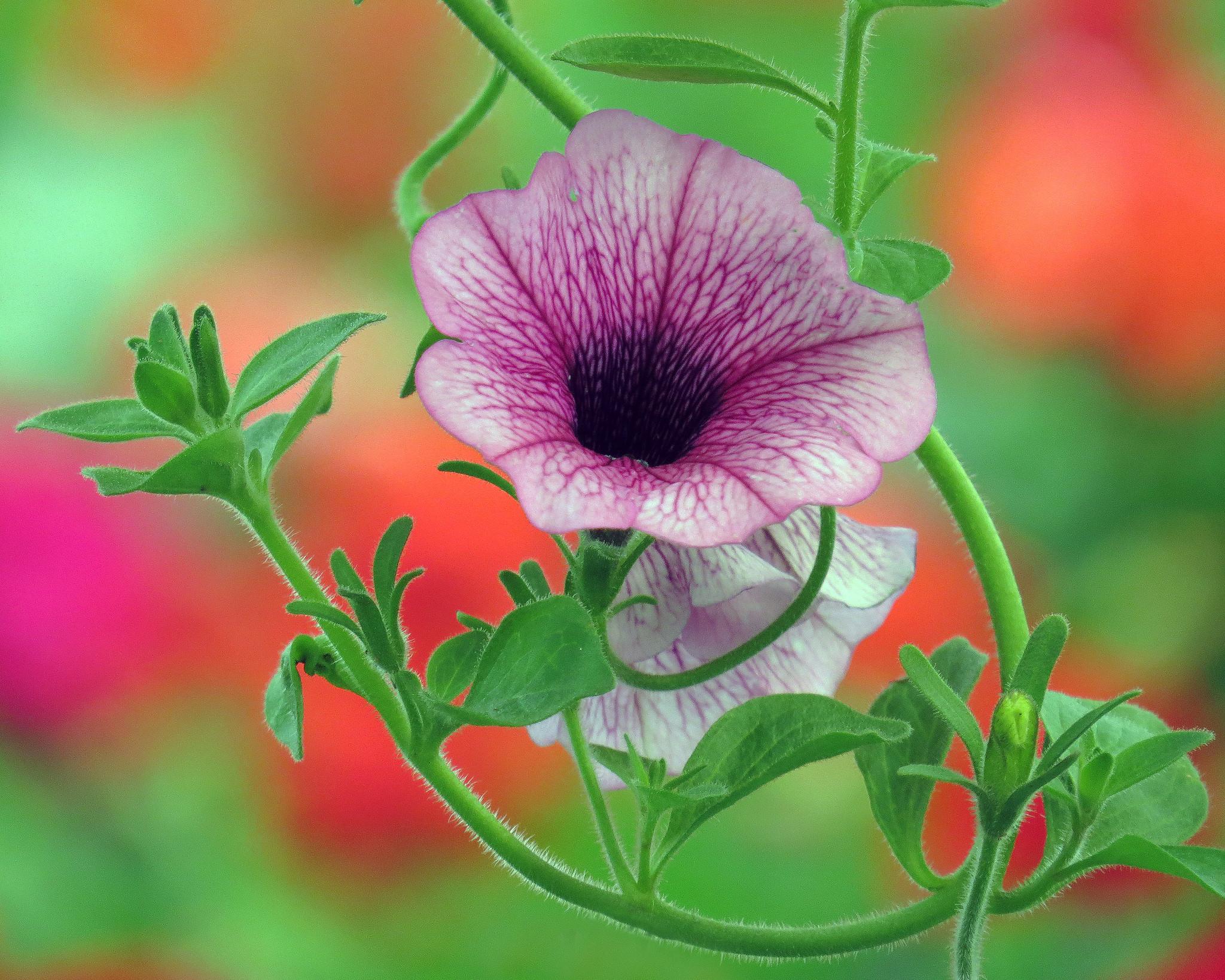 обои петуния, петунья, цветок, флора картинки фото