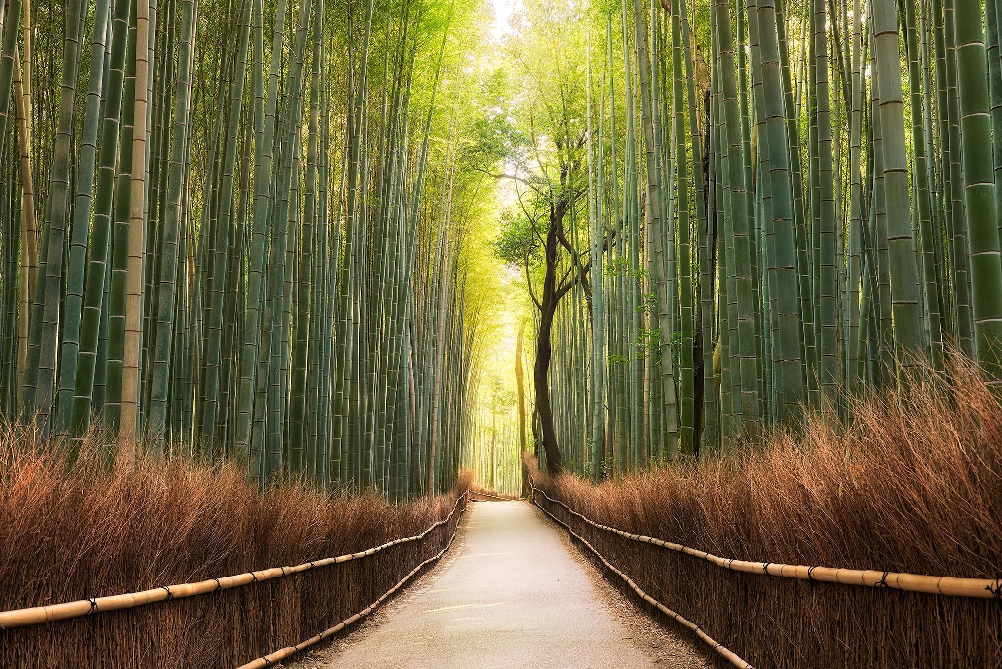 обои Киото, Япония, бамбук, утро картинки фото