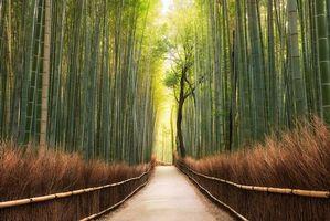 Бесплатные фото Киото,Япония,бамбук,утро,восход солнца,Сагано,бамбуковый лес