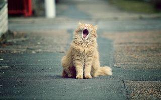 Бесплатные фото кот,рыжий,зевает,морда,лапы,хвост,шерсть